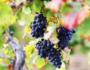 Неделя 13-я по Пятидесятнице: О злых виноградарях