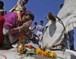 В индийском штате Гуджарат убийство коровы будет караться пожизненным заключением