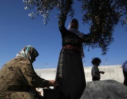 Христианский благотворительный фонд спонсирует проект высадки оливковых деревьев в Палестине